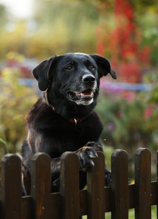 Portrait of black mongrel looking over garden fence LANG_EVOIMAGES
