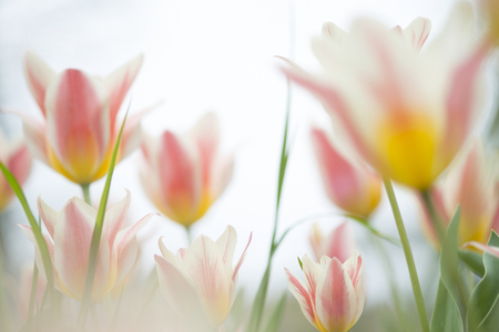 Multicolored tulips (Tulipa) on meadow LANG_EVOIMAGES