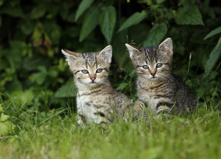 Two tabby kitten sitting in grass