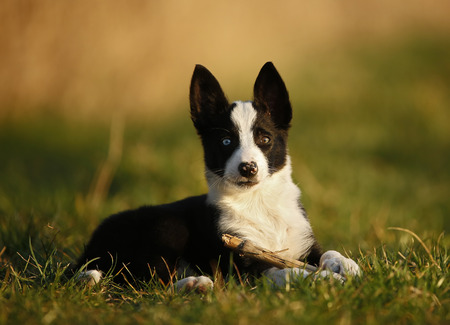 Border Collie puppy lying on a meadow