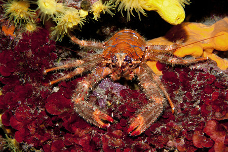 Croatia, Spinous Squad Lobster, Galathea strigosa