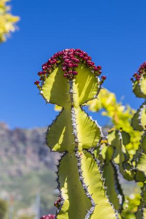 Spain, Gran Canaria, San Bartolome de Tirajana, Canary Island Spurge, Euphorbia canariensis, in the background Pozo de las Nieves LANG_EVOIMAGES