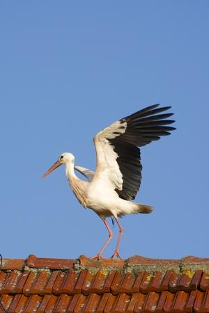 Germany, North Rhine-Westphalia, Petershagen, Stork standing on a roof LANG_EVOIMAGES