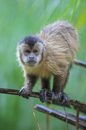 Brazil, Mato Grosso, Mato Grosso do Sul, capuchin monkey (Cebus) standing on branch LANG_EVOIMAGES