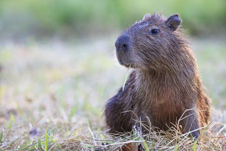 South America, Brasilia, Mato Grosso do Sul, Pantanal, Capybara, Hydrochoerus hydrochaeris LANG_EVOIMAGES