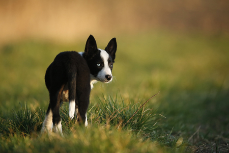 Border Collie puppy standing on a meadow LANG_EVOIMAGES
