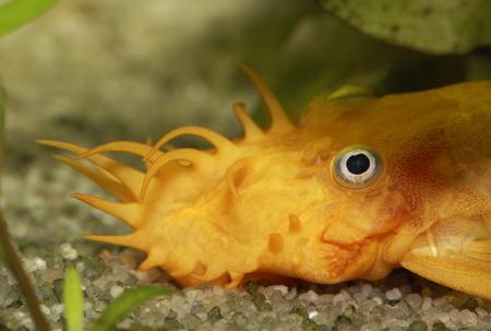 Yellow catfish, Ancistrus sp., freshwater aquarium