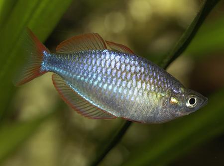 Dwarf rainbowfish, Melanotaenia praecox, freshwater aquarium