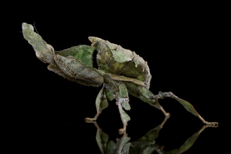Ghost Mantis, Phyllocrania paradoxa, with reflection on black ground