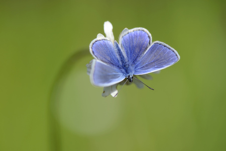 Germany, Common blue butterfly, Polyommatus icarus, sitting on plant LANG_EVOIMAGES