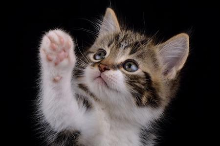 Portrait of tabby kitten, Felis silvestris catus, in front of black background LANG_EVOIMAGES
