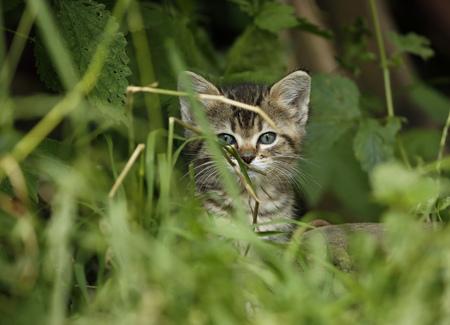 Tabby kitten, Felis silvestris catus, sittiing in grass