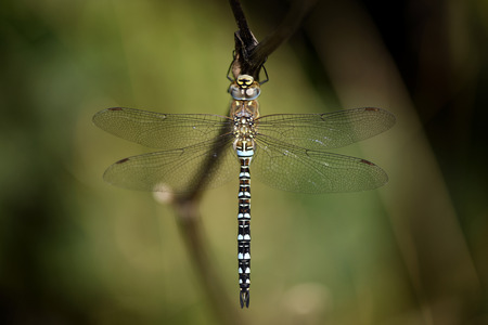 Migrant hawker, Aeshna mixta, close-up LANG_EVOIMAGES
