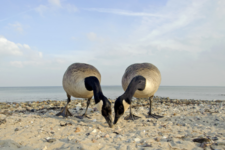 Two canada geese, Branta canadensis, searching feed