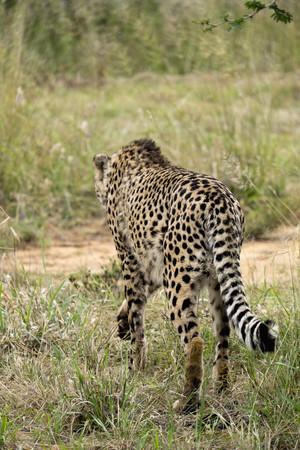 Africa, Namibia, Okonjima Nature Reserve, Cheetah, Acinonyx Jubatus, rare view