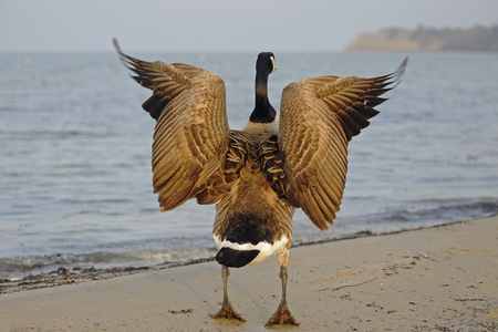 Canada goose, Branta canadensis, with spread wings standing at waterside, back view LANG_EVOIMAGES