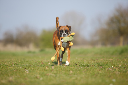 Portrait of German Boxer playing with a toy on a meadow LANG_EVOIMAGES