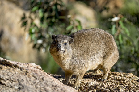 Africa, Namibia, Erongo Moutains, Rock dassie, Procavia capensis, standing LANG_EVOIMAGES