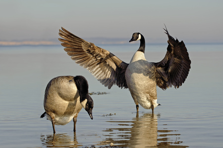 Two canada geese, Branta canadensis, standing in water LANG_EVOIMAGES