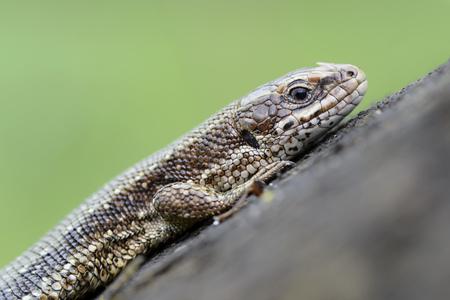 Common lizard, Zootoca vivipara LANG_EVOIMAGES
