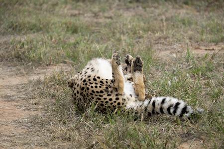 Africa, Namibia, Okonjima Nature Reserve, Cheetah, Acinonyx Jubatus, turning