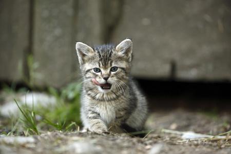 Tabby kitten, Felis silvestris catus, licking snout