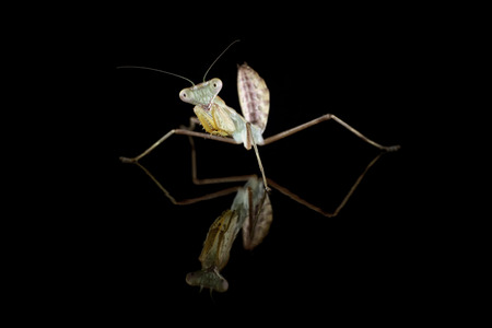 Giant Asian mantis, Hierodula Membranacea, in front of black background