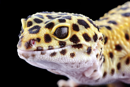 Head of leopard gecko, Eublepharis macularius, in front of black background