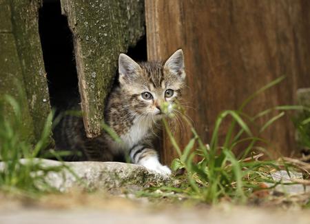 Tabby kitten, Felis silvestris catus, leaving old barn