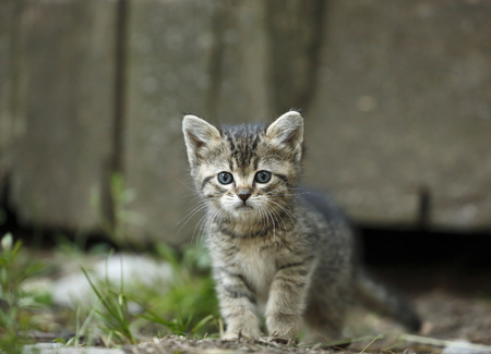 Tabby kitten, Felis silvestris catus, with blue eyes