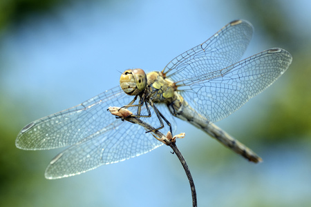 Common darter, Sympetrum Striolatum, close-up