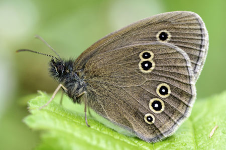 Germany, Ringlet butterfly, Aphantopus hyperantus, sittig on plant