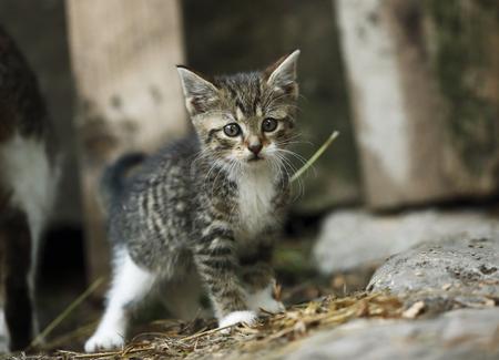 Tabby kitten, Felis silvestris catus