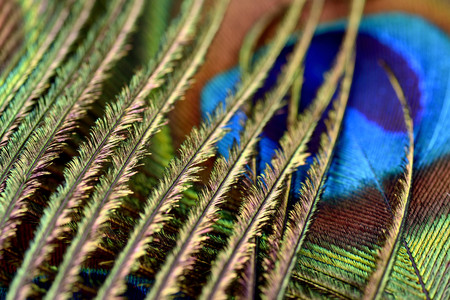 Detail of peacocks feather LANG_EVOIMAGES