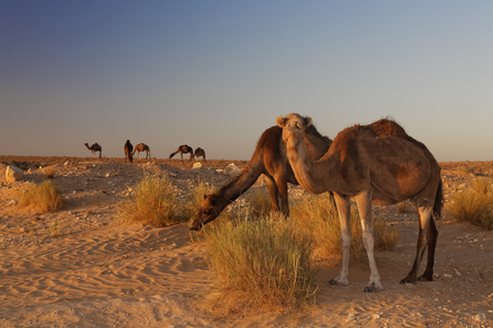 Africa, North Africa, Tunesia, Maghreb, Sahara near Ksar Ghilane, Dromedars, Camelus dromedarius