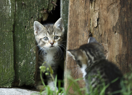 Two tabby kittens, Felis silvestris catus, face to face