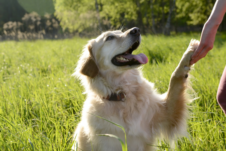 Portrait of Golden Retriever giving paw