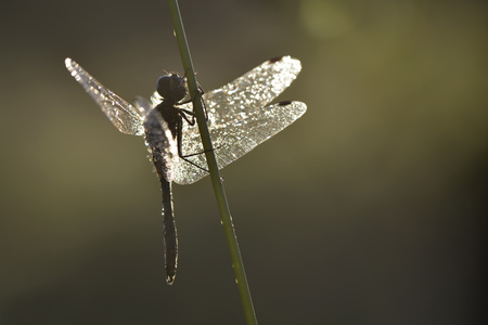 Black darter, Sympetrum danae, at blade of grass LANG_EVOIMAGES