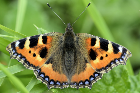 Germany, Small tortoiseshell butterfly, Aglais urticae L., sitting on plant