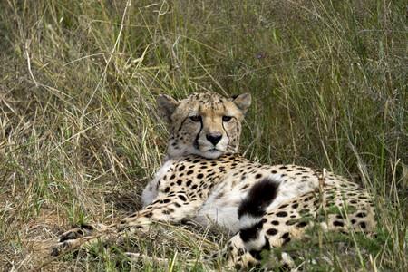 Africa, Namibia, Okonjima Nature Reserve, Cheetah, Acinonyx Jubatus, lying