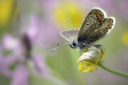 Germany, Brown argus butterfly, Aricia agestis, sitting on plant