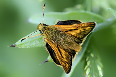 Germany, Large skipper butterfly, Ochlodes sylvanus, sitting on plant
