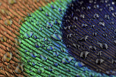 Water drops on peacocks feather, close-up LANG_EVOIMAGES