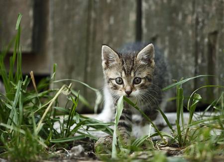 Tabby kitten, Felis silvestris catus, walking in front of old barn