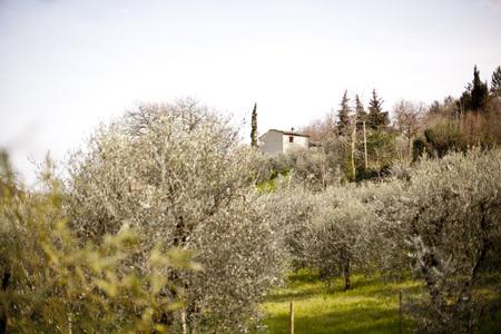 Italy, Tuscany, Volterra, olive grove