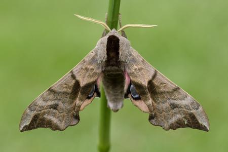 Eyed Hawk-Moth, Smerinthus ocellatus LANG_EVOIMAGES