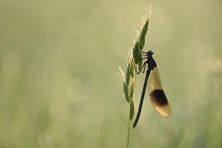 Banded demoiselle, Calopteryx splendens LANG_EVOIMAGES