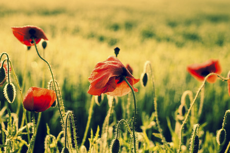 Germany, Bavaria, Poppies, Papaver rhoeas, in the morning light