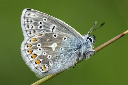 England, Common Blue, Polyommatus Icarus