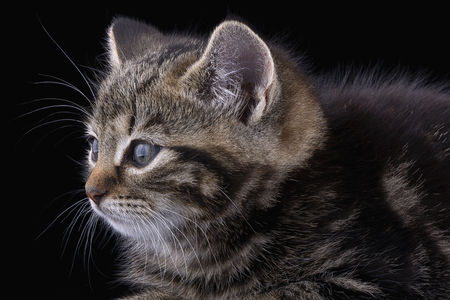 Portrait of tabby cat in front of black background